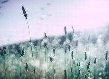 pyłki traw, alergia